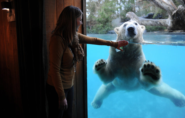 A young woman looks at Taiko, a polar bear playing in its pond, from her lodge in the zoo of the French western city of La Fleche, on December 12, 2014. Every night, polar bears share their zoological park with visitors who wait for their appearances from their cosy lodge. (Photo by Jean-Francois Monier/AFP Photo)