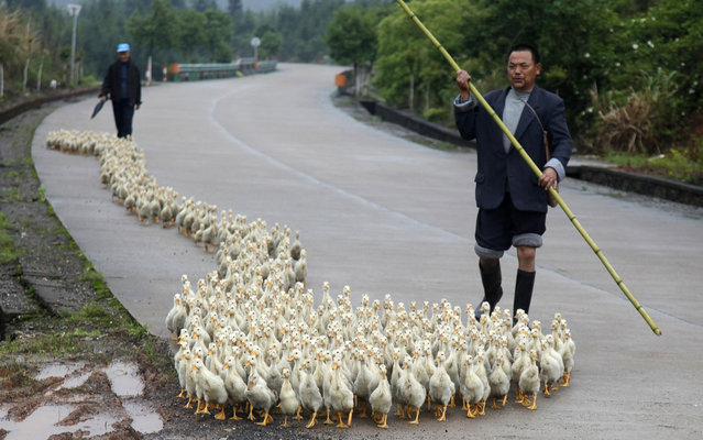 A breeder, whose business has been affected by the H7N9 bird flu virus, walks his ducks along a road in Changzhou county, Shandong province, on April 25, 2013. A dropoff in Chinese demand for soybeans used to feed poultry and livestock could last for months, as consumers lose their appetite for poultry in response to a deadly bird flu virus outbreak and amid lingering images of rotting pig carcasses floating in a river. (Photo by Reuters/Stringer)