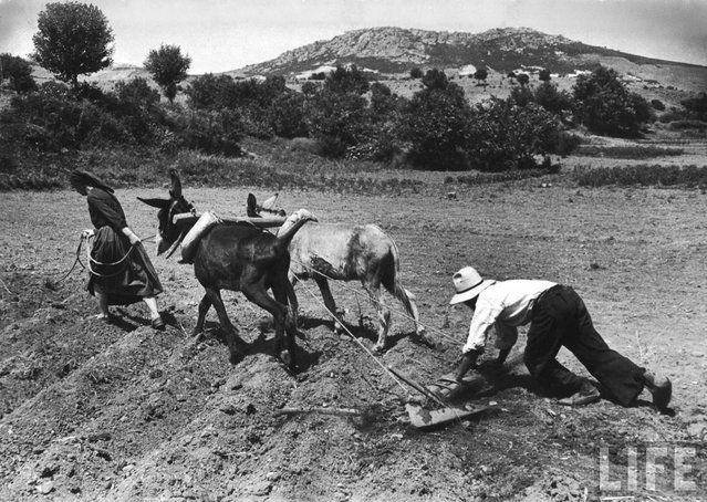 Beans planted, the villager presses hard on his flattened plow as it scrapes the dry soil back into furrows. A neighbor woman leads donkeys, one borrowed. (Photo by W. Eugene Smith/Time & Life Pictures)