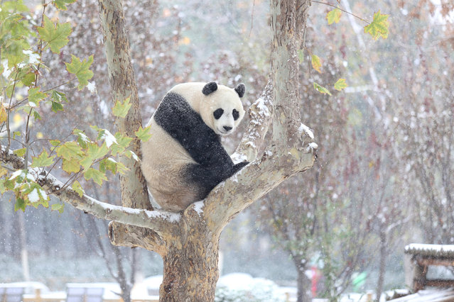 Only 1,864 giant pandas remain in the wild. Threats include human-wildlife conflict and climate change. The species is listed as vulnerable. (Photo by Reuters/Stringer)