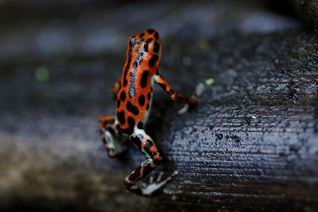 "A strawberry poison dart frog (Oophaga pumilio), which is part of the new ""Land of Frogs"" permanent exhibition at the Gamboa Rainforest Hotel on the outskirts of Panama City, January 7, 2015. (Photo by Carlos Jasso/Reuters)"