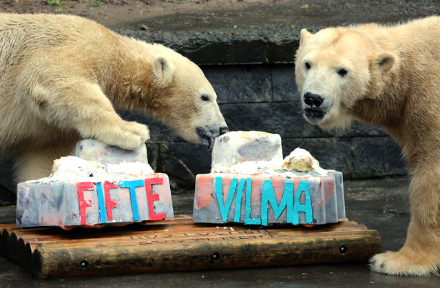 Male polar bear cub 'Fiete' (L) licks on his mother 'Vilma's ice cake containing mashed potatoes and salmon which they had received on the occasion of their first and 13th birthdays, respectively, at the zoo in Rostock, Germany, December 3, 2015. (Photo by Bernd Wuestneck/EPA)