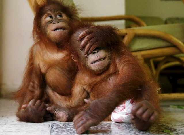 Two baby orangutans play with each other at the wildlife department in Kuala Lumpur, Malayasia, October 19, 2015. The Malaysian wildlife department in July seized two baby Sumatran orangutans, found in duffel bags, from traffickers who were attempting to sell them to buyers in Malaysia. According to local media, the orangutans will be returned to Medan, Indonesia on Tuesday. The illegal wildlife trade is estimated to be $8 billion a year worldwide, according to TRAFFIC, a wildlife trade monitoring network. (Photo by Olivia Harris/Reuters)