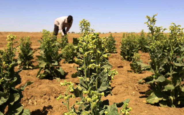 A farmer looks at tobacco plants at a farm in the Abu Shoak IDP camp for Internally Displaced Persons (IDP) in el-Fasher, February 5, 2015. Snuff tobacco is one of the North Darfur war zone's main cash crops. (Photo by Mohamed Nureldin Abdallah/Reuters)