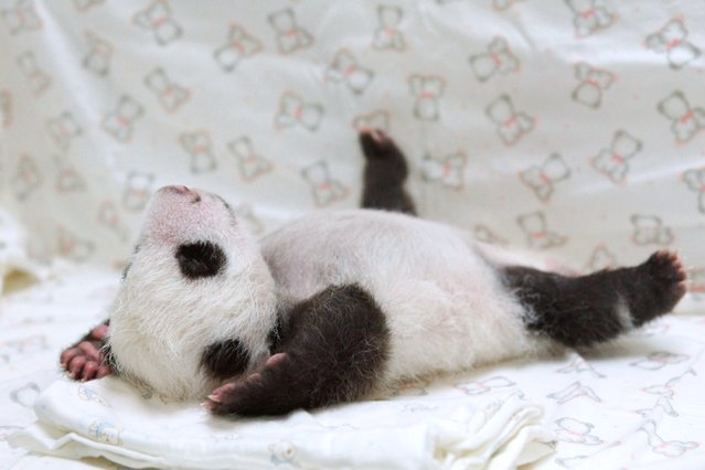A newly born panda cub at the Zoo in Taipei, on August 21, 2013. (Photo by AFP Photo/Getty Images)