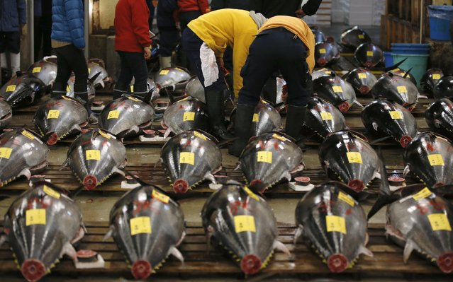 Wholesalers check the quality of a fresh tuna displayed at the Tsukiji fish market before the New Year's auction in Tokyo, Japan, January 5, 2016. (Photo by Toru Hanai/Reuters)
