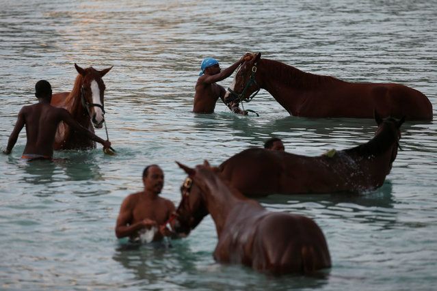 Handlers bath horses from the Garrison Savannah in the Caribbean Sea near Bridgetown, Barbados December 1, 2016. (Photo by Adrees Latif/Reuters)