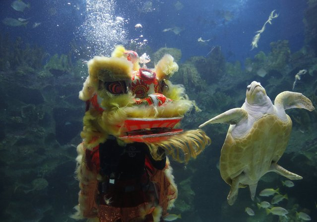 A turtle swims past divers performing the lion dance at the KLCC Aquaria on Chinese New Year in Kuala Lumpur, February 19, 2015. (Photo by Olivia Harris/Reuters)