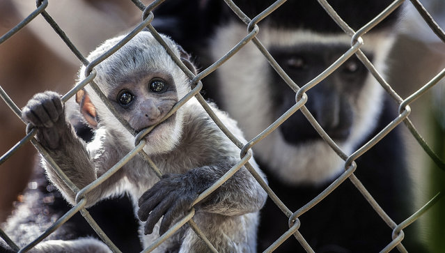 This September 26, 2013, photo shows a baby black-and-white colobus monkey with its mother Kianga at the Santa Ana Zoo at Prentice Park in Santa Ana, Calif. The monkey was born September 1 and is currently teething. (Photo by Bruce Chambers/AP Photo/The Orange County Register)