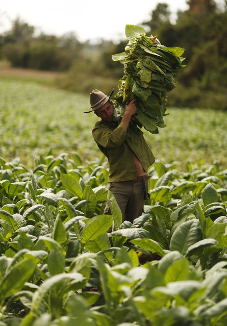 A farmer harvests tobacco leaves at a plantation in the valley of Vinales, in the western Cuban province of Pinar del Rio, January 29, 2015. (Photo by Pilar Olivares/Reuters)