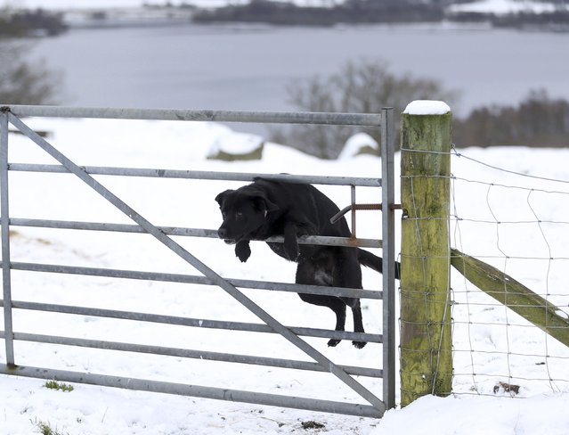 A dog jumps a gate near Loch Tay in Scotland, Britain January 17, 2016. (Photo by Russell Cheyne/Reuters)