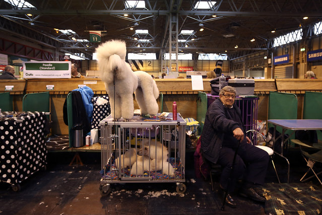 A Standard Poodle stands on a box on the fourth and final day of Crufts dog show at the National Exhibition Centre on March 8, 2015 in Birmingham, England.  First held in 1891, Crufts is said to be the largest show of its kind in the world. The annual four-day event, features thousands of dogs, with competitors travelling from countries across the globe to take part and vie for the coveted title of 'Best in Show'. (Carl Court/Getty Images)