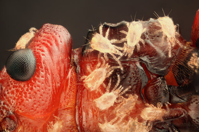 Honorable Mention: A 10x magnified image of a flat bark beetle, showing part of the head and prothorax with phoretic mites, by Nikola Rahme, from Budapest, Hungary. (Photo by Nikola Rahme)