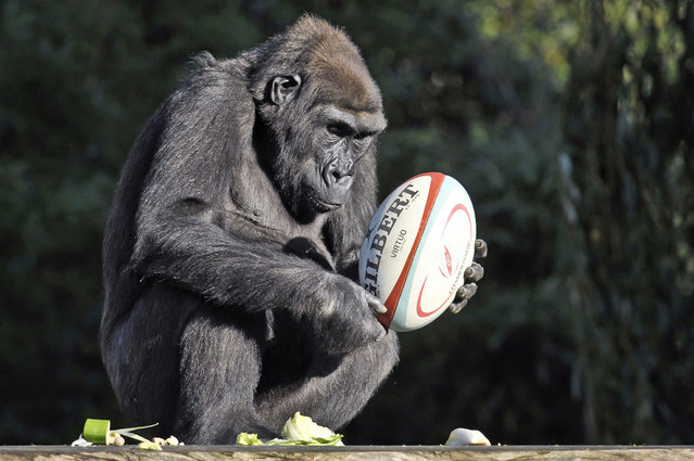 Komale the Western Lowland Gorilla inspects a rugby ball that has been placed into the gorilla enclosure at Bristol Zoo as part of their enrichment programme, where they are given things to stimulate and encourage playful behaviour. Picture date: Tuesday October, 29, 2013. (Photo by Ben Birchall/PA Wire)