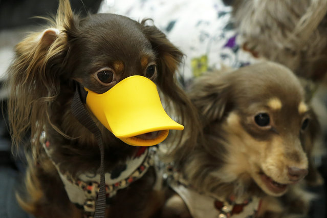 "A Miniature Dachshund (L) wears a duck bill-shaped dog muzzle while sitting in a stroller with another Miniature Dachshund at the ""Interpets"" international pet fair in Tokyo, Japan, April 2, 2015. (Photo by Kiyoshi Ota/EPA)"