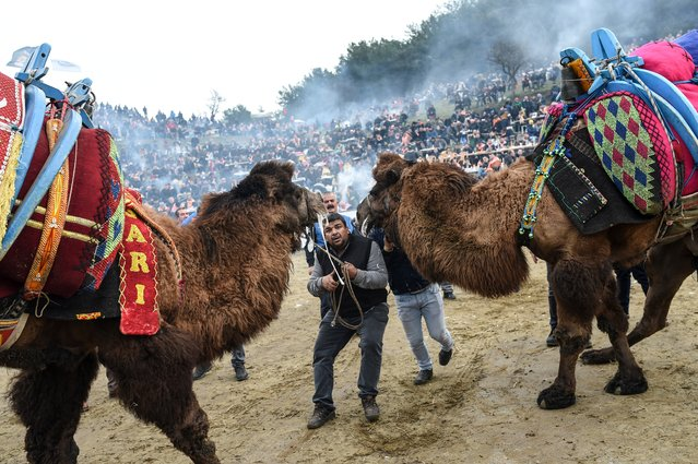 People try to push camels to fight during the contest of Selcuk Camel wrestling festival in the town of Selcuk, near the western Turkish coastal city of Izmir, on January 20, 2019. The Selcuk Camel wrestling festival in Turkey dates back over 2400 years and originated among the nomadic Turkic Tribes. Today, Turkey's camel wrestling league holds more than 30 events across the country during the season November to March. (Photo by Bulent Kilic/AFP Photo)