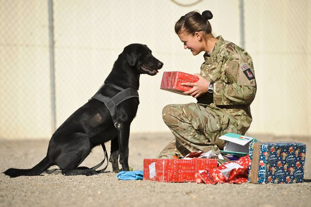 Private Zina Saunders, a dog handler with 1 Military Working Dogs, gives Hazel, who works as a search dog Christmas presents which were sent by the handler's friends and family in the UK on December, 19, 2013. (Photo by Ben Birchall/PA Wire)