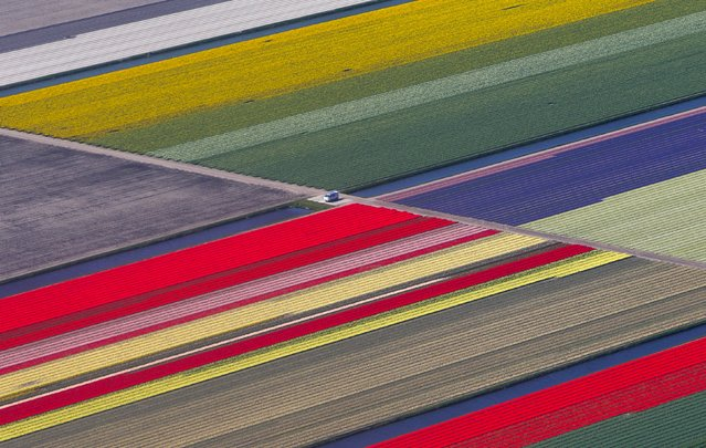 An aerial view of flower fields is seen near the Keukenhof park, also known as the Garden of Europe, in Lisse, The Netherlands April 15, 2015. Keukenhof, employing some 30 gardeners, is considered to be the world's largest flower garden displaying millions of flowers every year. (Photo by Yves Herman/Reuters)