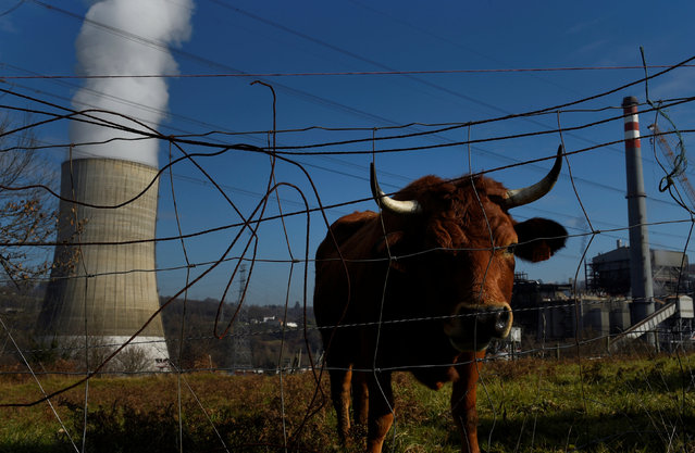 A cow grazes near the Soto de Ribera thermal power plant in Soto de Ribera, near Oviedo, Spain January 23, 2017. (Photo by Eloy Alonso/Reuters)