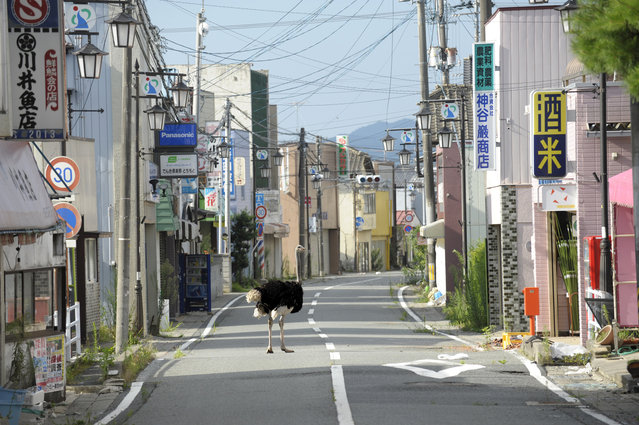 """This photo provided by Japan Society on March. 2, 2016, shows Ota Yasusuke's 2011, """"Deserted Town"""", from a series on the abandoned animals of Fukushima, in an exhibit in New York marking the fifth anniversary of Japan's earthquake and tsunami. The exhibit, """"In the Wake: Japanese Photographers Respond to 3/11"""", opens March 11 at the Japan Society Gallery and runs through June 12. (Photo by Japan Society courtesy Museum of Fine Arts, Boston/Ota Yasusuke via AP Photo)"""