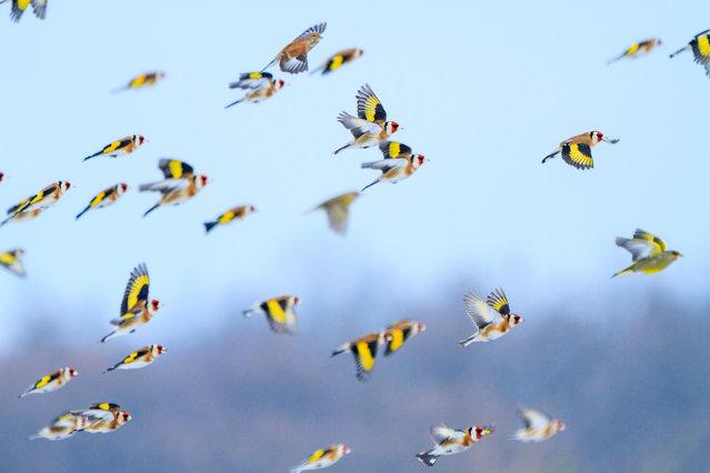 Goldfinches fly over a sunflower field in Ukraine. (Photo by Kostya Pazyuk/Alamy Stock Photo)