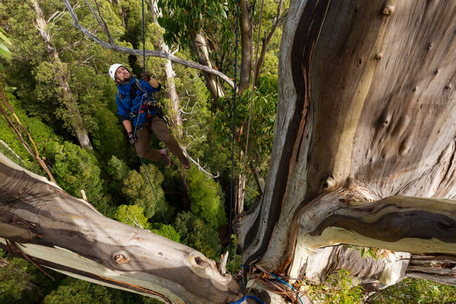Haley nears the top of the tree. (Photo by Steven Pearce/The Tree Projects/The Guardian)