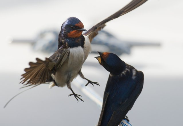 Barn Swallows (Hirundo rustica) birds are pictured on April 28, 2015 in Barhoeft, Germany. (Photo by Stefan Sauer/AFP Photo/DPA)