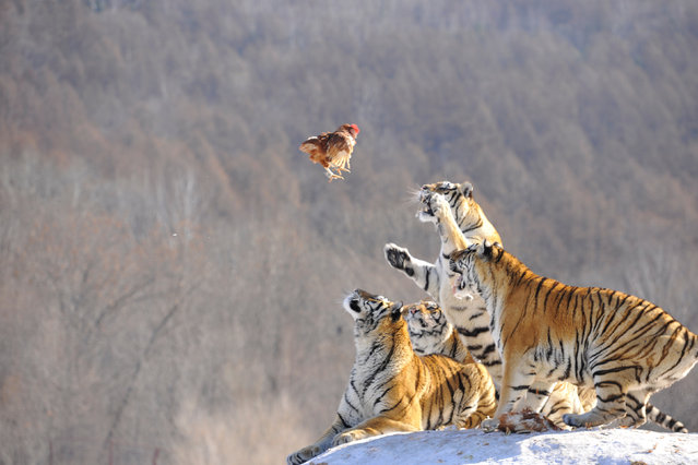 Siberian tigers act to catch prey at a Siberian tigers breeding base in Mudanjiang, Heilongjiang province, China, January 31, 2017. (Photo by Reuters/Stringer)