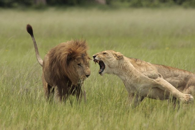 A lioness lunges for a male in Botswana. (Photo by Lee Whittam/Barcroft Media)