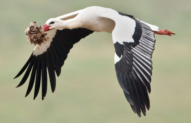 A white storks transports material to build a nest near Biebesheim am Rhein, western Germany, on March 18, 2014. (Photo by Boris Roessler/AFP Photo/DPA)