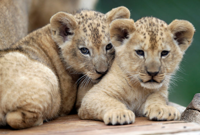 Newly born Barbary lion cubs rest inside their enclosure at Dvur Kralove Zoo in Dvur Kralove nad Labem, Czech Republic, July 8, 2019. (Photo by David W. Cerny/Reuters)