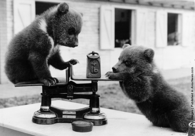 1962: Two brown bear cubs from a litter of triplets born at Whipsnade Zoo, Bedfordshire playing with the scales at their first weight check. The 4-lb cubs have been transferred to the children's zoo, where they delight the visitors