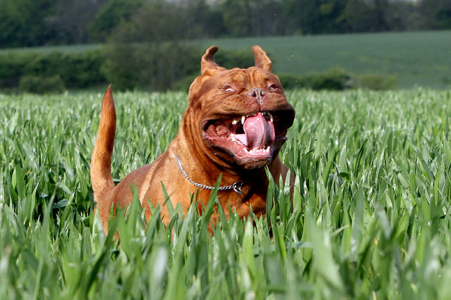 A Dogue de Bordeaux. (Photo by Nick Ridley Photography/Caters News Agency)
