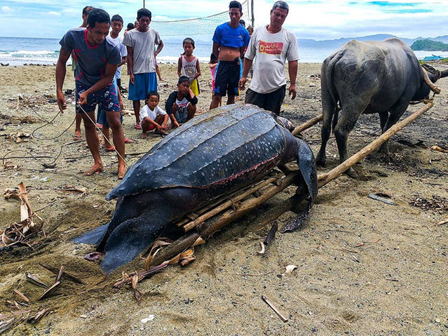 A handout photo made available by the Department of Environment and Natural Resources (DENR) of the Philippines shows villagers looking at a dead giant leatherback sea turtle which was found along a shoreline of Barangay Caraosan, in the coastal town of Bula, Camarines Sur province, Philippines, 29 July 2019 (issued 30 July 2019). According to reports, the leatherback sea turtle was already dead and entangled with a rope when it was found. Investigators believed that there was an attempt to catch the marine animal but the catchers might have backed off because of its weight. The environment department is conducting an information campaign to educate public awareness on protecting wildlife. (Photo by Department of Environment and Natural Resources/EPA/EFE)