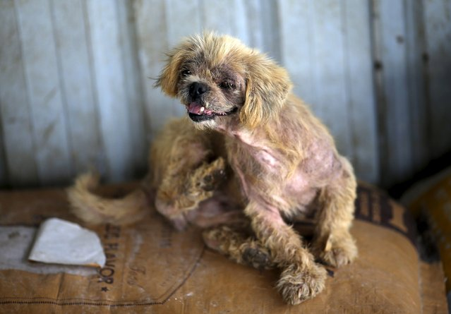A dog which was purchased by dog lover Yang Xiaoyun in China's southern town of Yulin, is seen at Yang's shelter for dogs in Tianjin, China, July 8, 2015. (Photo by Kim Kyung-Hoon/Reuters)