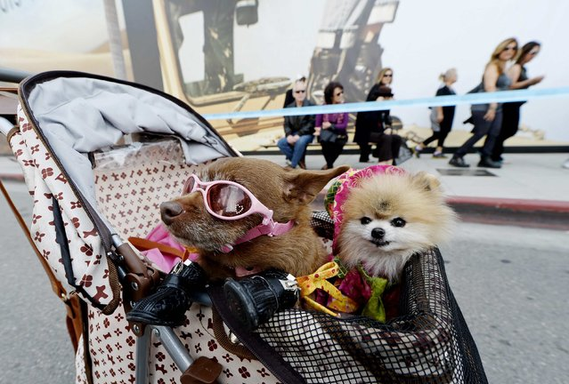 Miss Coco Puffs, a Chihuahua mix, and Jack, a Pomeranian, ride in a stroller on Rodeo Drive during a block party celebrating the 100th anniversary of Beverly Hills, Calif., on April 26, 2014. (Photo by Kevork Djansezian/Reuters)