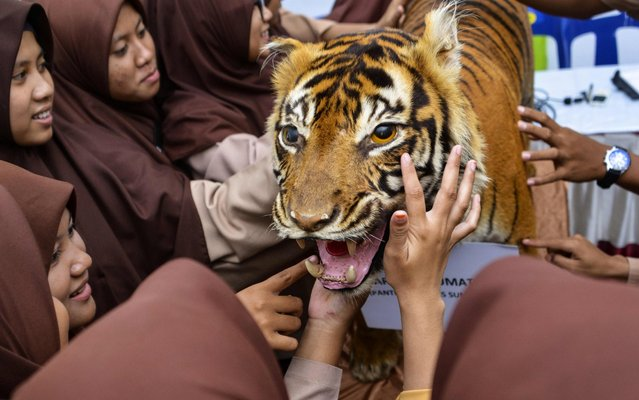 High school students interact with a stuffed Sumatran tiger, now used as a teaching aid, during a class on wildlife awareness and conservation issues in Lhoknga, Aceh province on September 7, 2019. (Photo by Chaideer Mahyuddin/AFP Photo)