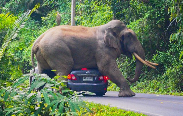 In this photo taken on October 29, 2019, a wild elephant stops a car on a road at Khao Yai National Park in Thailand's Nakhon Ratchasima province. (Photo by Pratya Chutipaskul/AFP Photo)