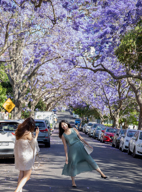 People taking photos amongst jacaranda trees on McDougall Street in the North Sydney suburb of Kirribilli on November 22, 2019 in Sydney, Australia. Jacaranda trees are not native to Australia, but can be found around Sydney and are popular for their stunning purple blooms in spring which attract hundreds of Instagrammers seeking a perfect image with the colourful flowers. (Photo by MicheleMossop/The Guardian)