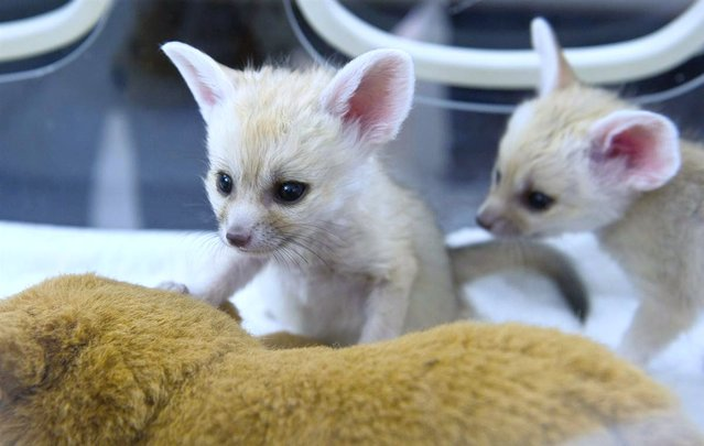 Two young Fennec foxes play around in an incubator at the zoological garden in Lodz, Poland, on June 5, 2012