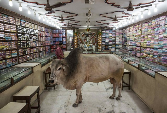 A bull stands inside a shop selling clothes at Varanasi, in the northern Indian state of Uttar Pradesh, June 20, 2014. (Photo by Danish Siddiqui/Reuters)