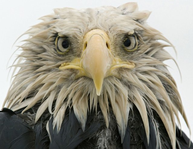 The Bald Eagle, as the national symbol of the United States of America, is grand and majestic, but is also a bird living in a world of rain and dirt, of skies bright and dark, hunting and fighting – a true eagle. Klaus Nigge traveled to the Aleutian Islands where there is a large population of bald eagles. (Photo by Klaus Nigge/National Geographic Creative for National Geographic Magazine)