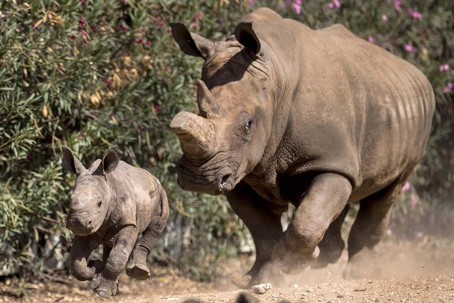 A newly born female White Rhino runs alongside her mother  in Ramat Gan Safari Park near Tel Aviv, Israel, on September 3, 2014. (Photo by Ariel Schalit/AP Photo)