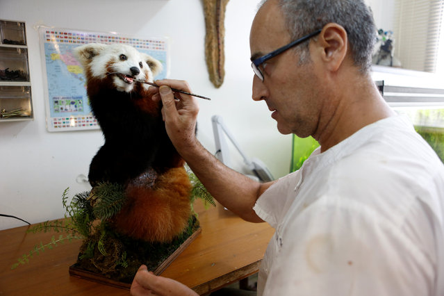 Igor Gavrilov, the main taxidermist of the Zoological centre at Tel Aviv University, works on a taxidermied animal, part of a collection which will be housed at the Steinhardt Museum of Natural History, a new Israeli natural history museum set to open next year in Tel Aviv, Israel June 8, 2016. Legions of insects, sea creatures and ancient fossils are lining up in a new museum shaped liked a giant Noah's Ark, telling the story of a crucial evolutionary byway across Israel. Experts say all humans and other animals had to pass through Israel on their first journey out of Africa into Europe and Asia. (Photo by Nir Elias/Reuters)