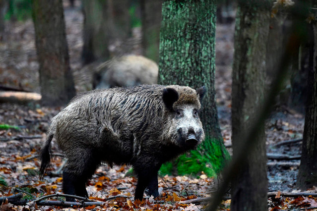 A picture taken on November 28, 2017 shows wild boars at an enclosure set up by forest rangers in a northwestern district of Berlin. Thousands of wild boars call Berlin home, where they dig up gardens, cause road accidents and rampage through neighbourhoods. (Photo by Tobias Schwarz/AFP Photo)