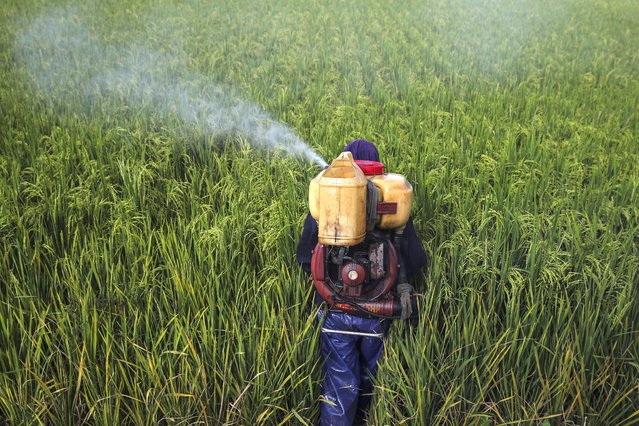 """A worker sprays the insecticide on the paddy field at Sabak Bernam, Selangor, Malaysia, 23 June 2020. According to Malaysian Agriculture and Food Industry Minister Ronald Kiandee, """"The country's imported rice supply has not been affected despite the global Covid-19 pandemic"""". (Photo by Fazry Ismail/EPA/EFE)"""