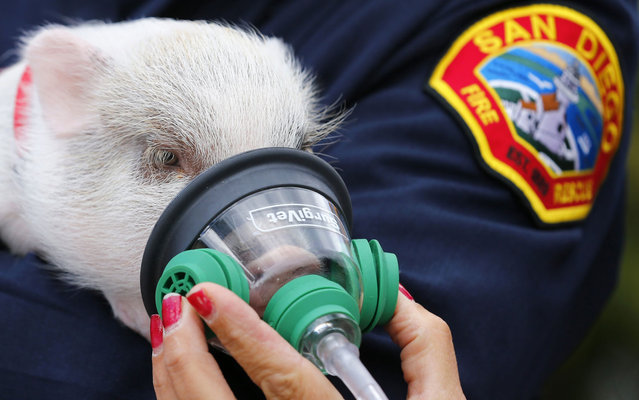 """Firefighters from San Diego, Califorina, USA, gave a demonstration of how to use an oxygen mask on animals. The test was done on the pig """"Baby Banks"""" and labrador dog """"Emma"""". Masks are specially made to fit noses of various kinds of domestic animals. The institution received a donation of 60 of these devices an NGO that looks after the safety of the animals. (Photo by Mike Blake/Reuters)"""