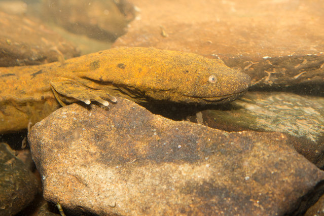 The hellbender salamander underwent population declines of 77% across five locations in Missouri, US, between 1975 and 1995. Degradation of habitat from the effects of agriculture and the recreational use of rivers is believed to be the main cause of the decline. (Photo by Robert Hamilton/Alamy Stock Photo)