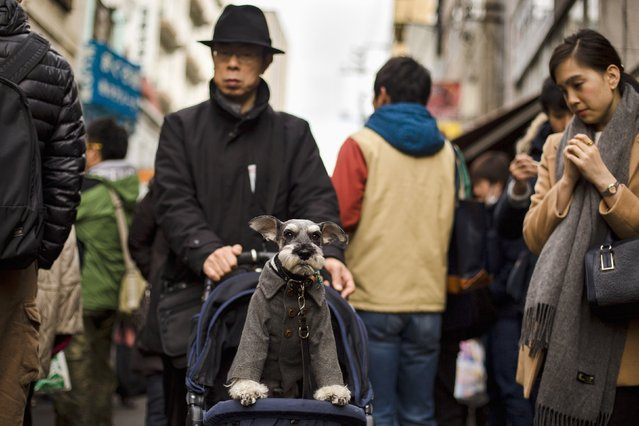 A man pushes a pet dog in a pram through the outer part of the Tsukiji fish market, the Jogai Shijo, in Tokyo January 4, 2015. (Photo by Thomas Peter/Reuters)