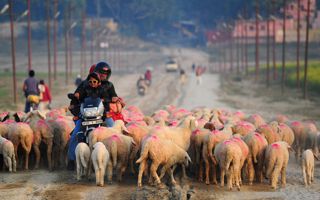 An Indian family on a scooter make their way through a flock of sheep on their way into Allahabad on January 7, 2015. (Photo by Sanjay Kanojia/AFP Photo)